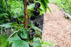 Berries, not yet eaten by the deer